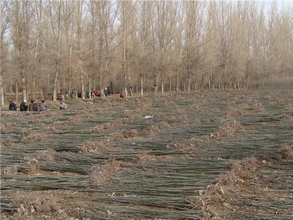 中川绿化苗木基地