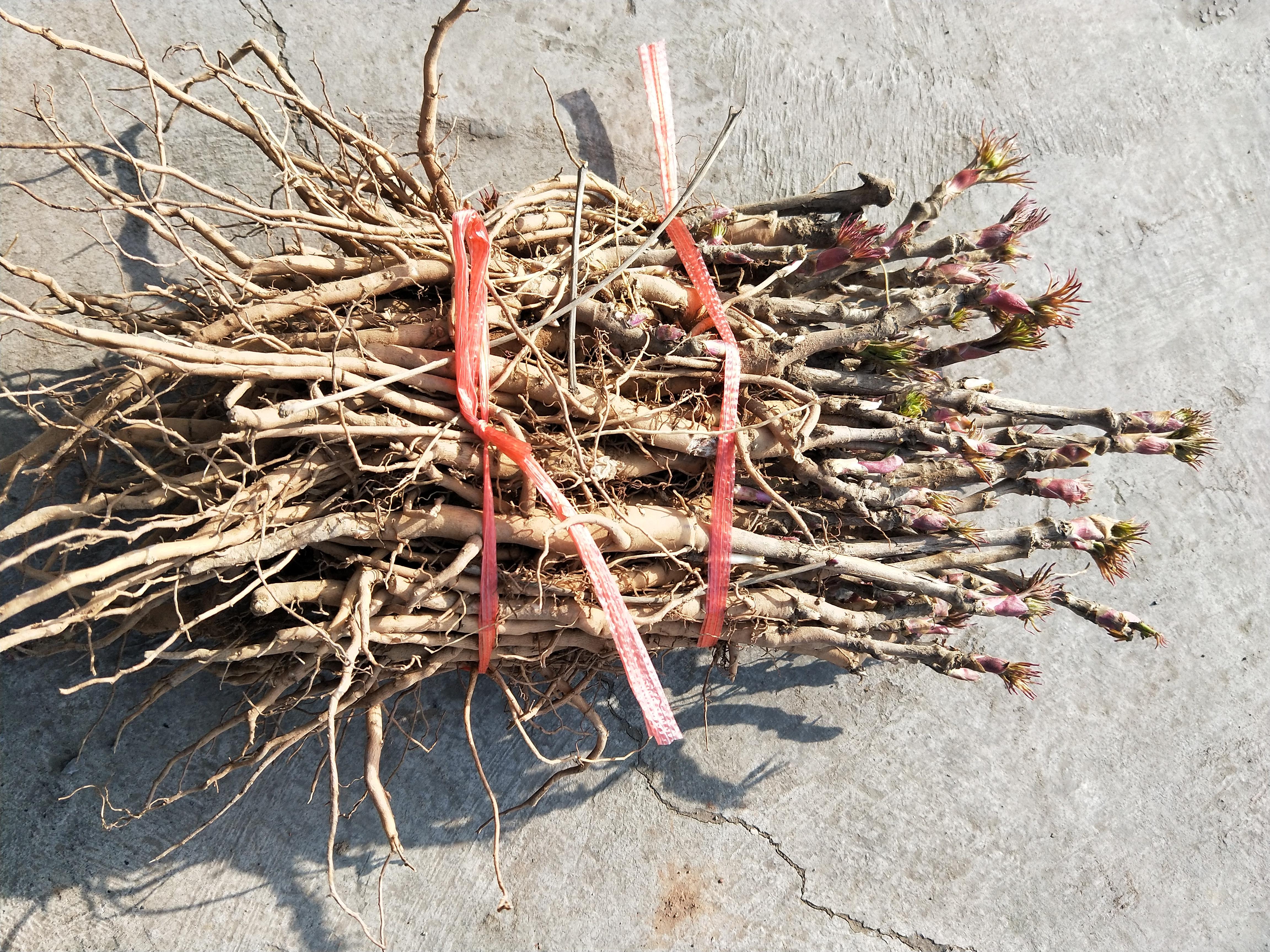 春季牡丹种植:如何挑选油用牡丹种苗