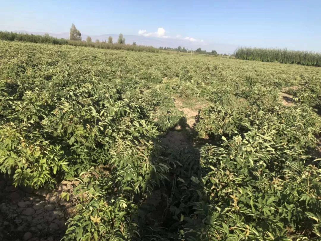 甘肃张掖市的中川油用牡丹栽植初见成效