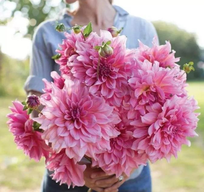 大丽花什么时候开花,大丽花花期是多久