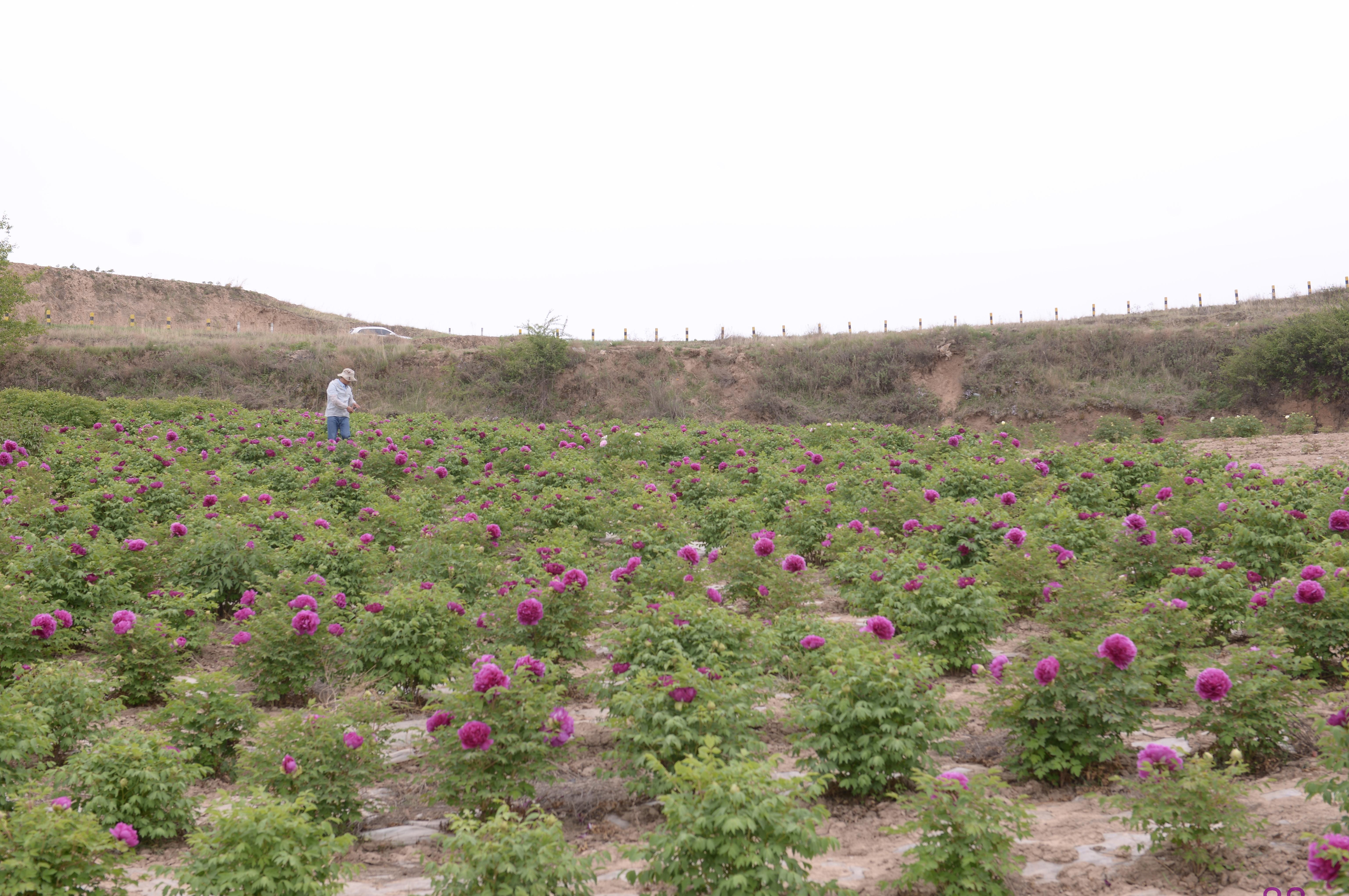 中川牡丹定植苗圃