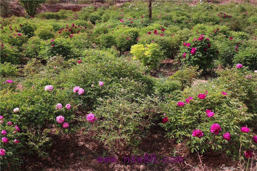 中川牡丹园开花照