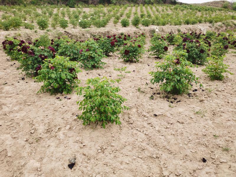 中川牡丹定植苗圃地块