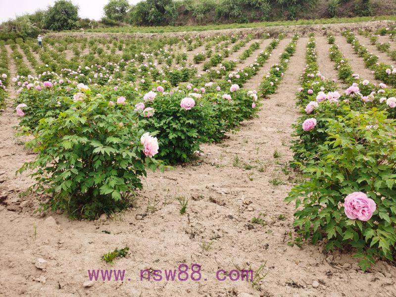 中川牡丹精品定植苗圃