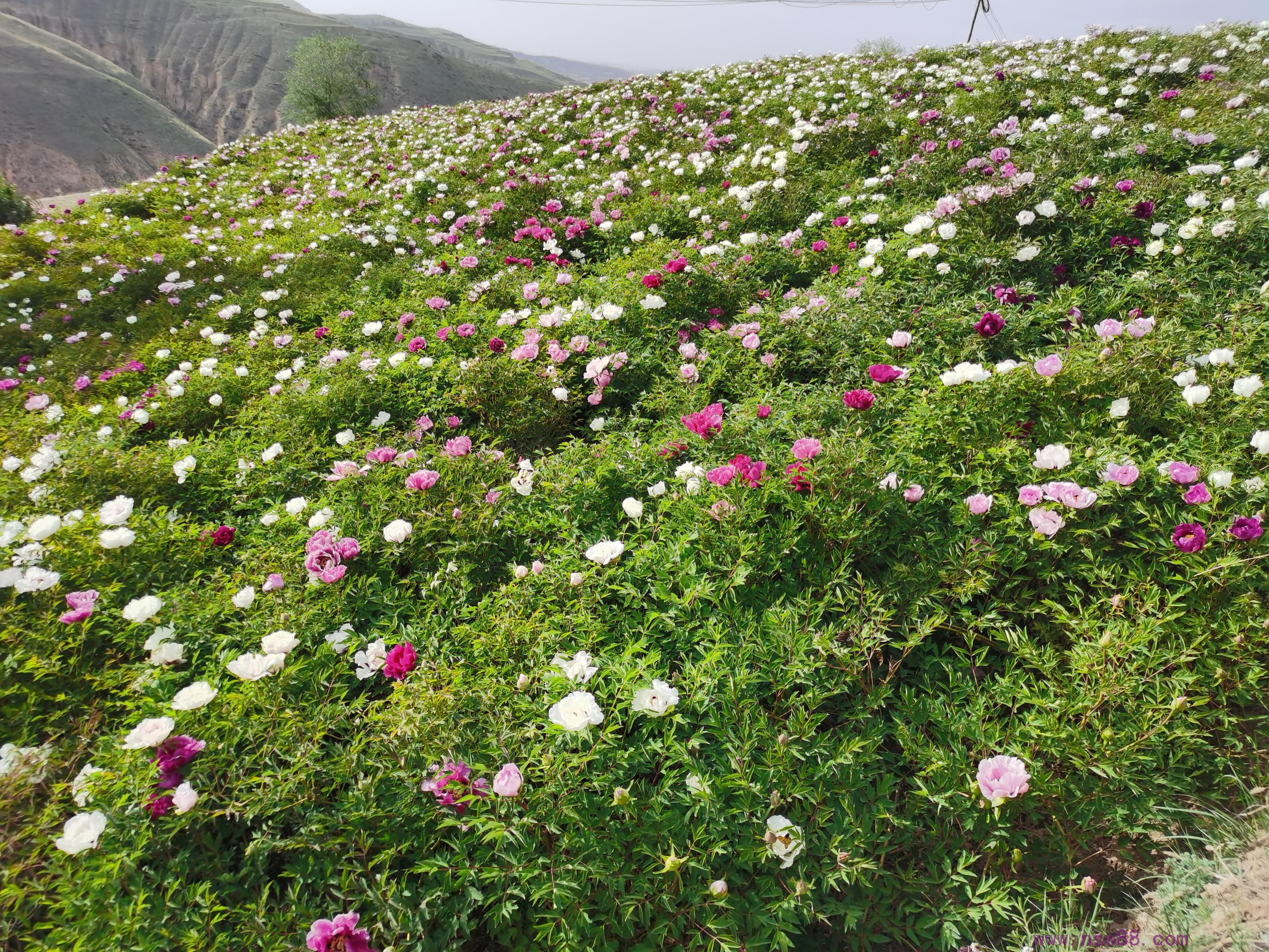 中川牡丹籽播实生苗圃