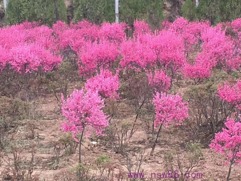 中川苗木——榆叶梅基地
