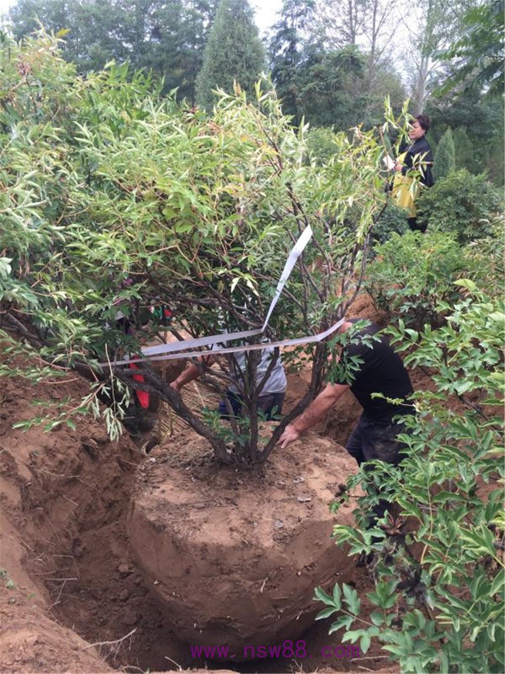 大树牡丹起挖