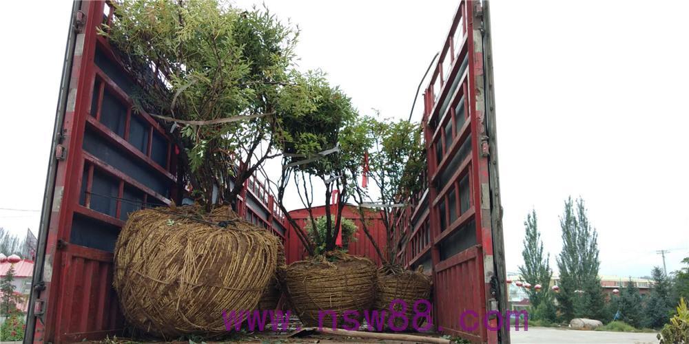 大树牡丹装车