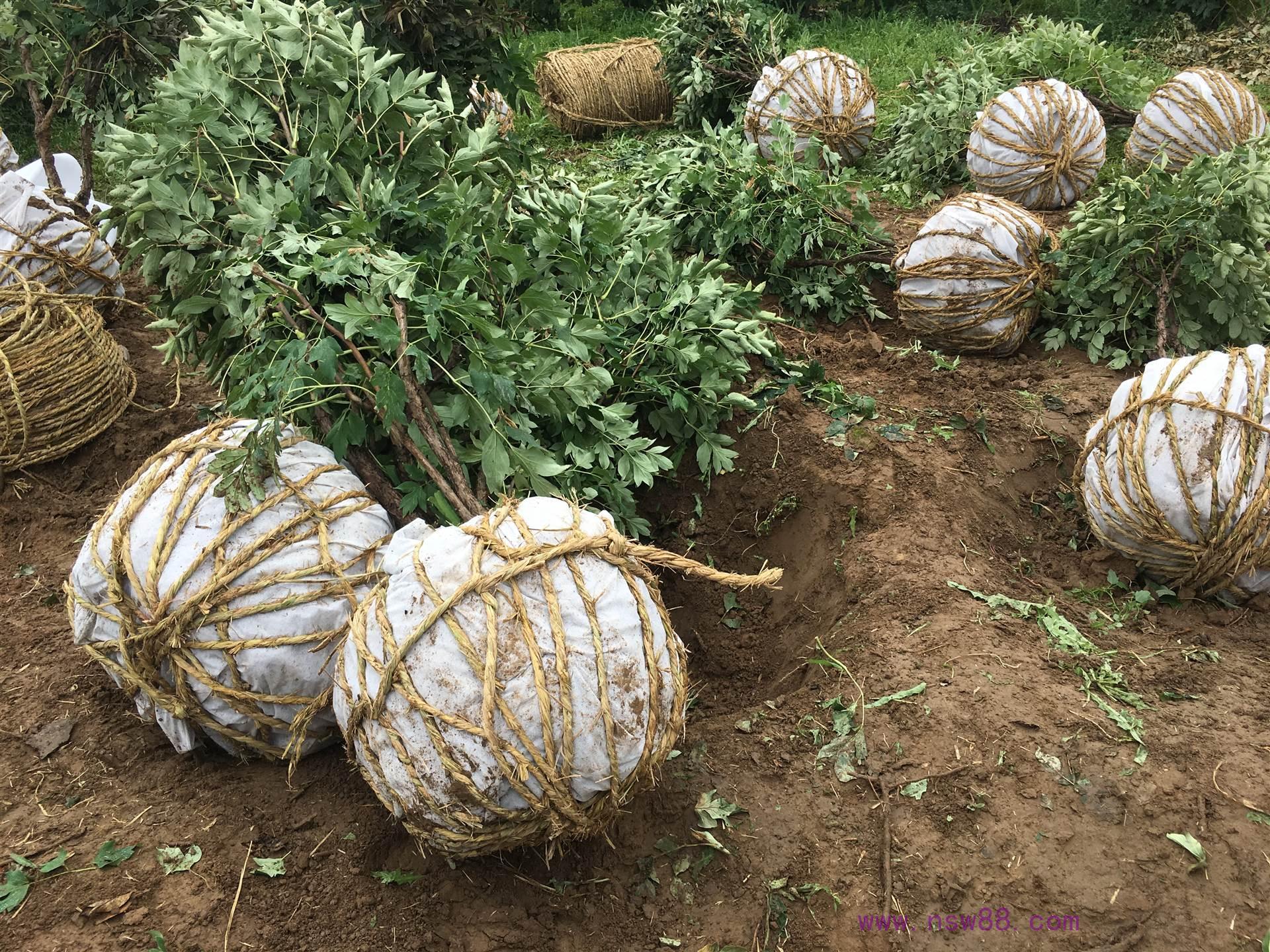 成型株树牡丹包装
