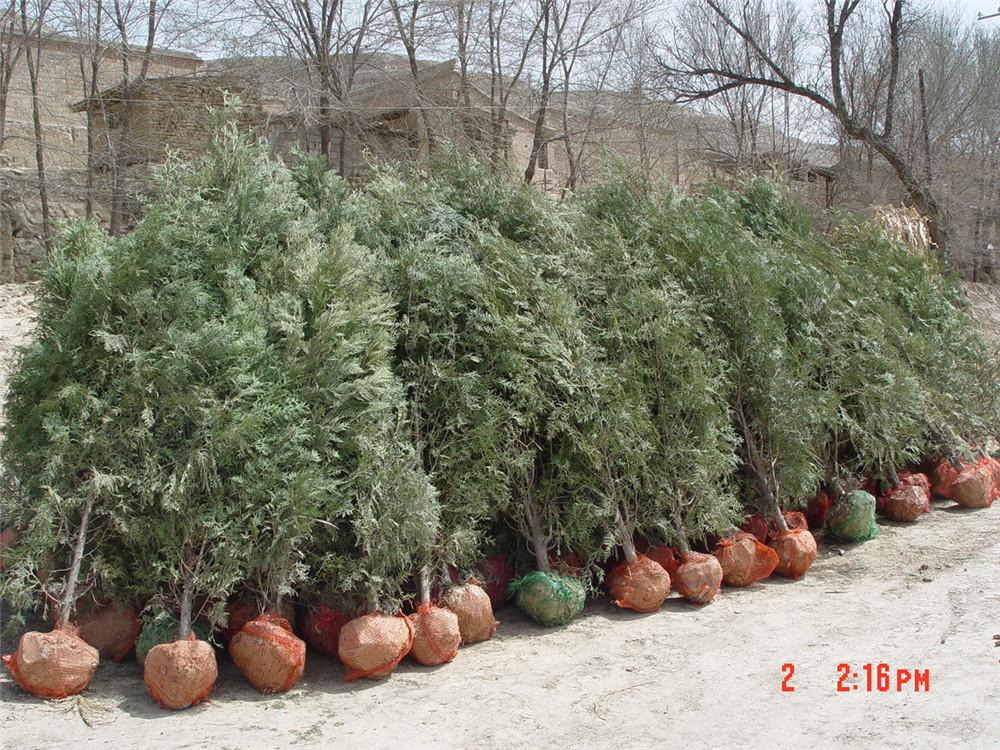 打包好的绿化苗木