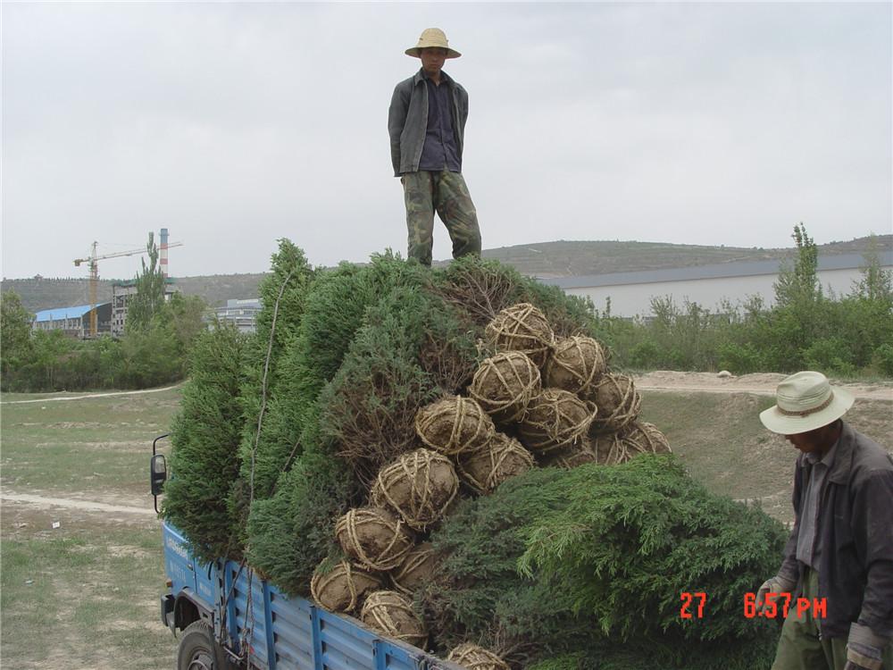 绿化苗木装车发货