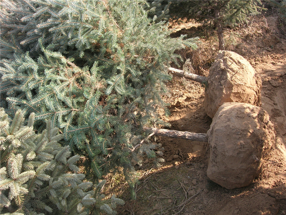 中川苗木起挖