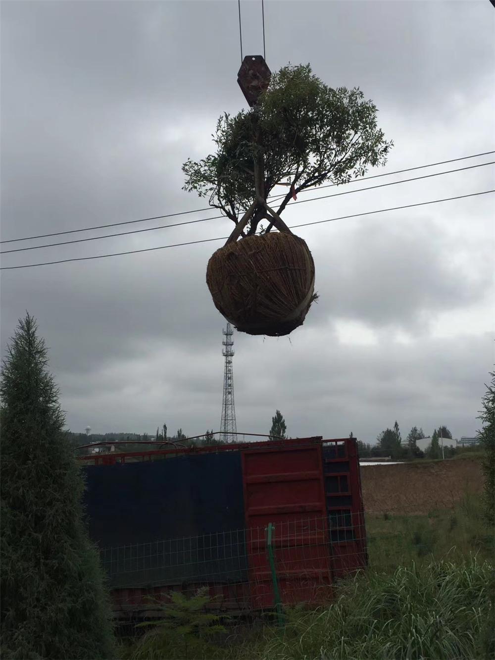 树牡丹装车