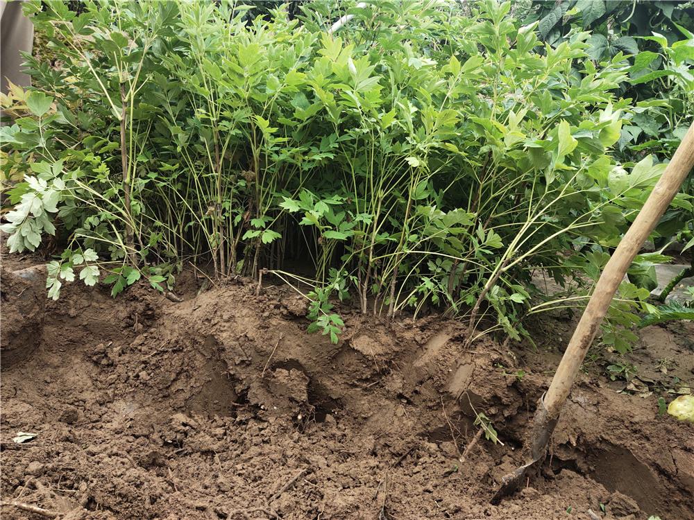 籽播实生苗起挖
