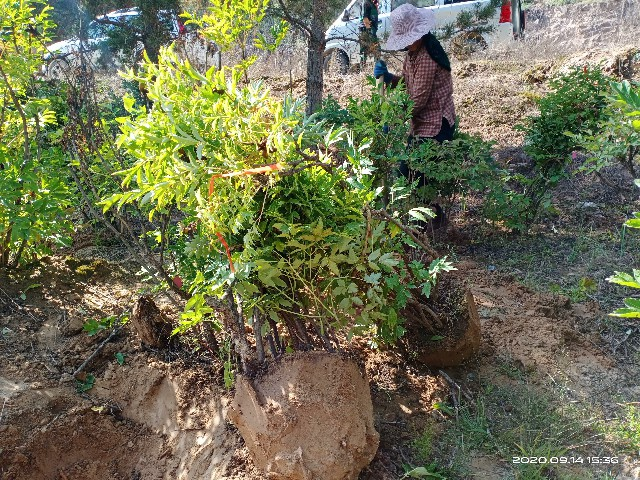 牡丹树起挖