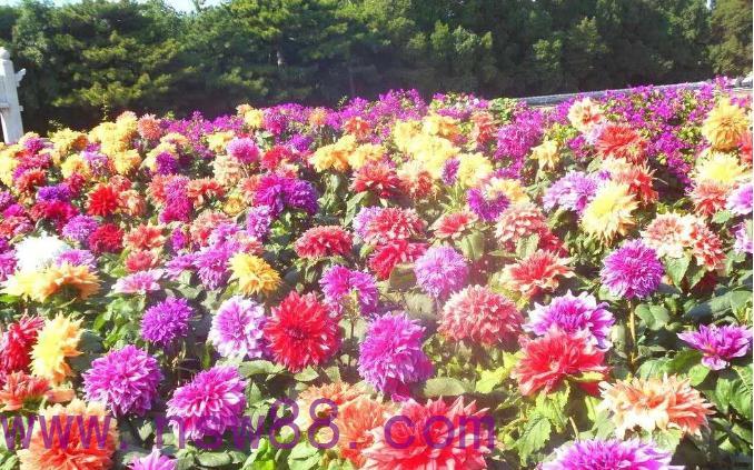 大丽花世界上最美的花