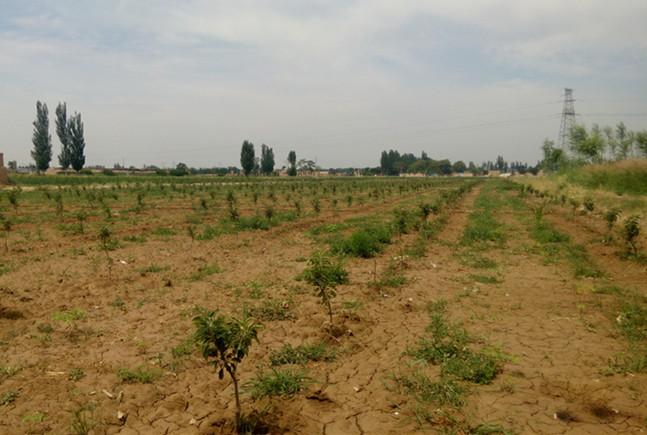 甘肃油用牡丹和苹果树套种在宁夏吴忠试栽成功