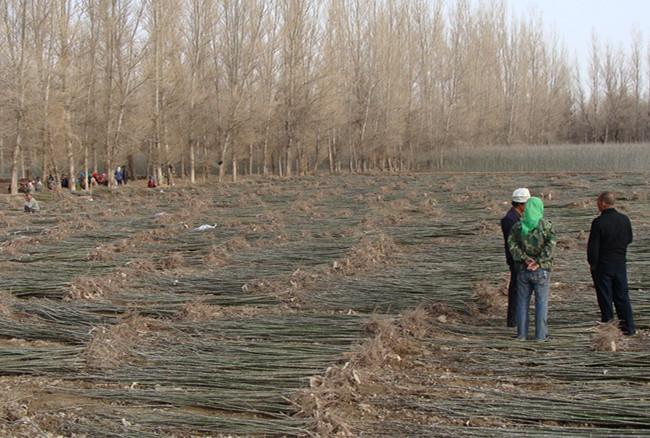 300亩新疆杨育苗基地