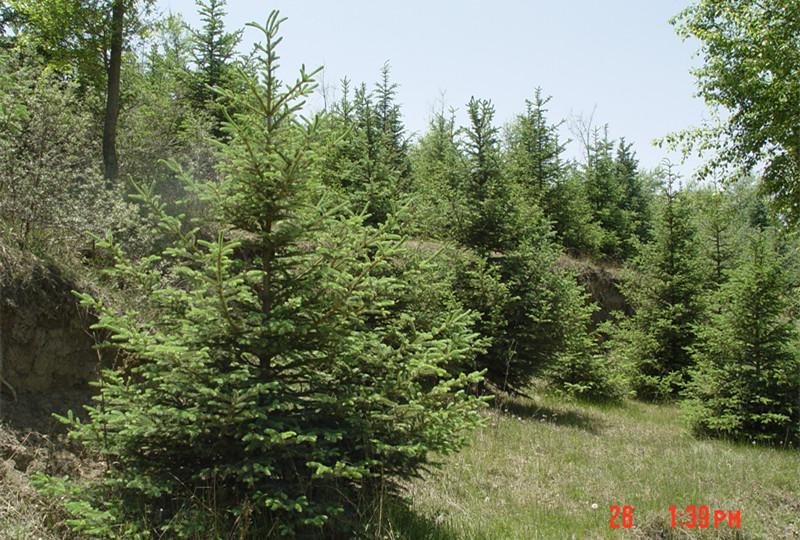 鄂尔多斯东康县林地种植甘肃云杉