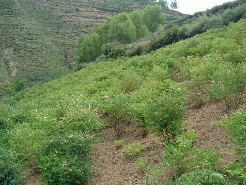 甘肃敦煌引种油用牡丹建生态园