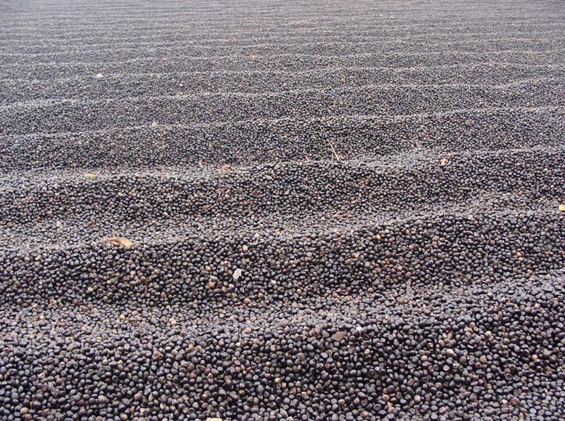 正在晾晒油用牡丹籽