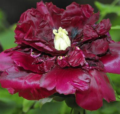 稀有罕见的黑牡丹