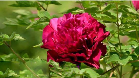 大红大紫,大富大贵重瓣树牡丹苗